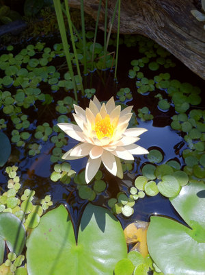20110828_lotus1