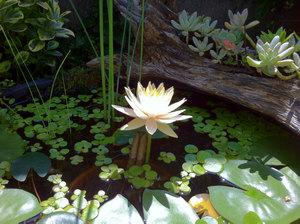 20110828_lotus2